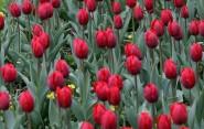 Symbolom Parkinsonovej choroby sa stal červený tulipán